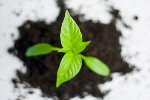 plant-paprika-pepper-grow-82728-300x201