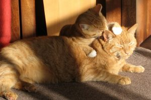 two-ginger-cats-650546_640-300x199