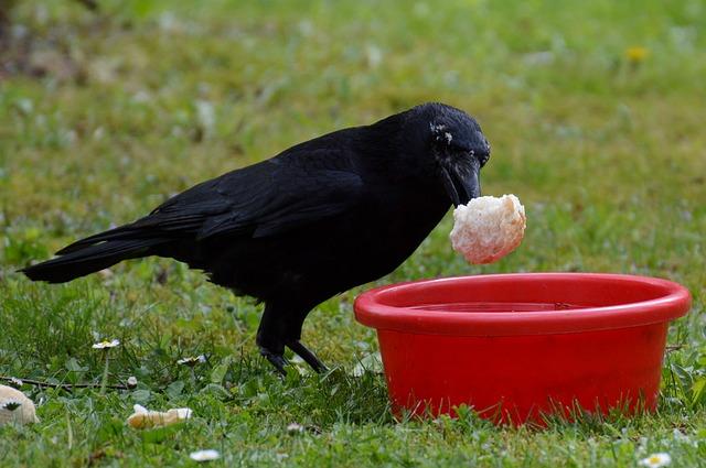crow-741168_640